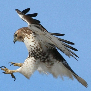 wildlife hawk fishing talons competition